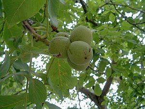 honig, Honig – in der Volksmedizin ein traditionelles Heilmittel