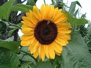 Sonnenblume, Ölziehen
