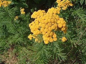 Pflanzen – entzündungshemmend und ausführend