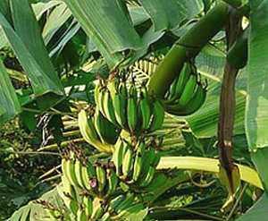 banane, Banane (Musa) – eine der ältesten Kulturpflanzen
