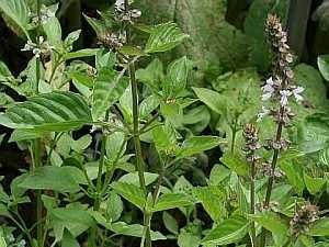 Basilikum – eine Gewürzpflanze in der Küche