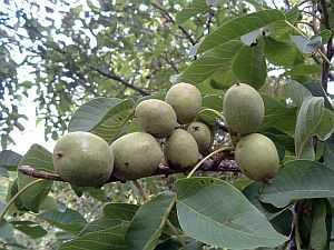 walnuss, Walnuss (Juglans regia) – eine traditionelle Heilpflanze