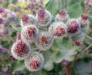 klette, Große Klette (Arctium lappa) – eine alte Heilpflanze