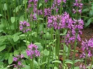 heil-ziest, Heil-Ziest (Stachys officinalis) – eine alte Heilpflanze