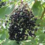 holunder, Schwarzer Holunder (Sambucus nigra) – eine alte Heilpflanze