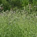 heilende pflanzen, HEILENDE PFLANZEN – KLEINE GALERIE A BIS D