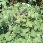 Brombeere Heilpflanze