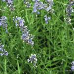 Echter Lavendel Lavander