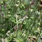 Echter Schwarzkümmel Heilpflanze