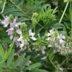 pflanzen, HEILENDE PFLANZEN – KLEINE GALERIE G