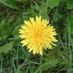 Gewöhnlicher Löwenzahn Heilpflanze