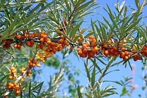 Hippophae rhamnoides, Sanddorn, Heilpflanze