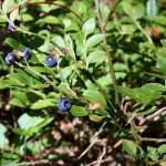 Heidelbeere Blaubeere Heubeere