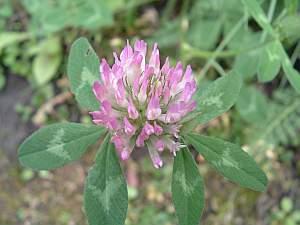 rot-klee, Rot-Klee (Trifolium pratense) – eine alte Heilpflanze
